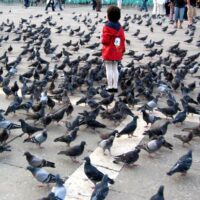pigeons-picture-